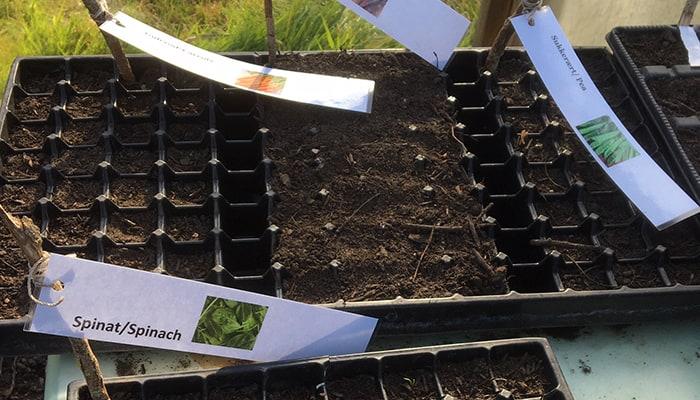 Vi har sået frø i drivhuset til senere udplantning