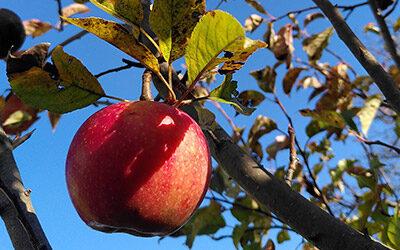 Så blev æbletræerne beskåret